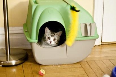 Choosing a cat litter Classic Tabby Scottish Fold