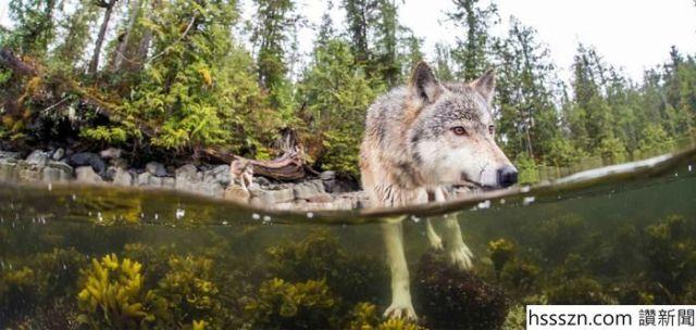 swimming-sea-wolves-pacific-coast-canada-ian-mcallister-4_700_332