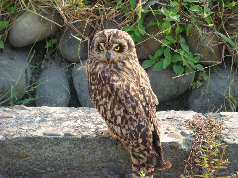 長短耳之戀:長耳鴞與短耳鴞   臺灣環境資訊協會-環境資訊中心