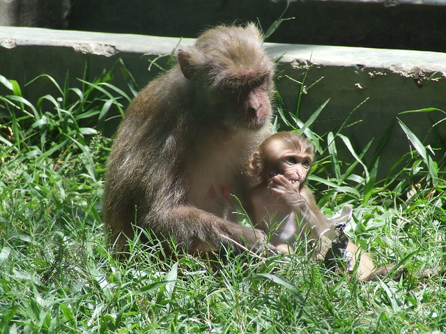 A mother monkey is feeding her child