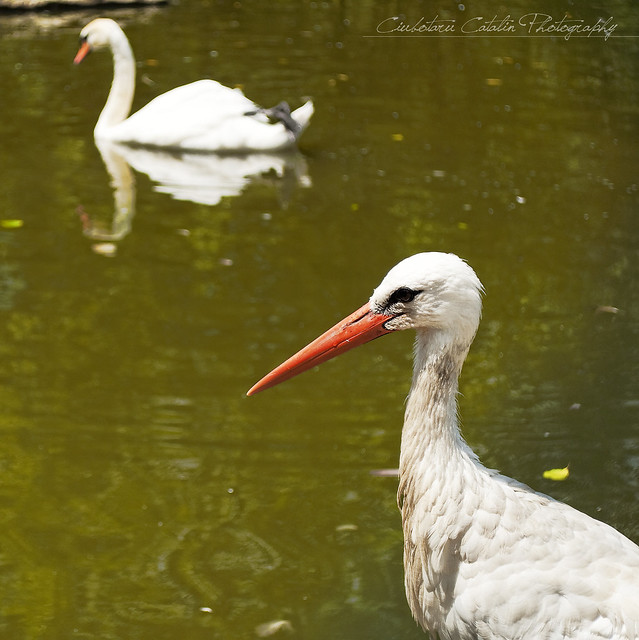 Stork and Swan
