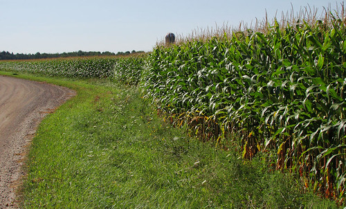 Simcoe County Corn by gnawledge wurker