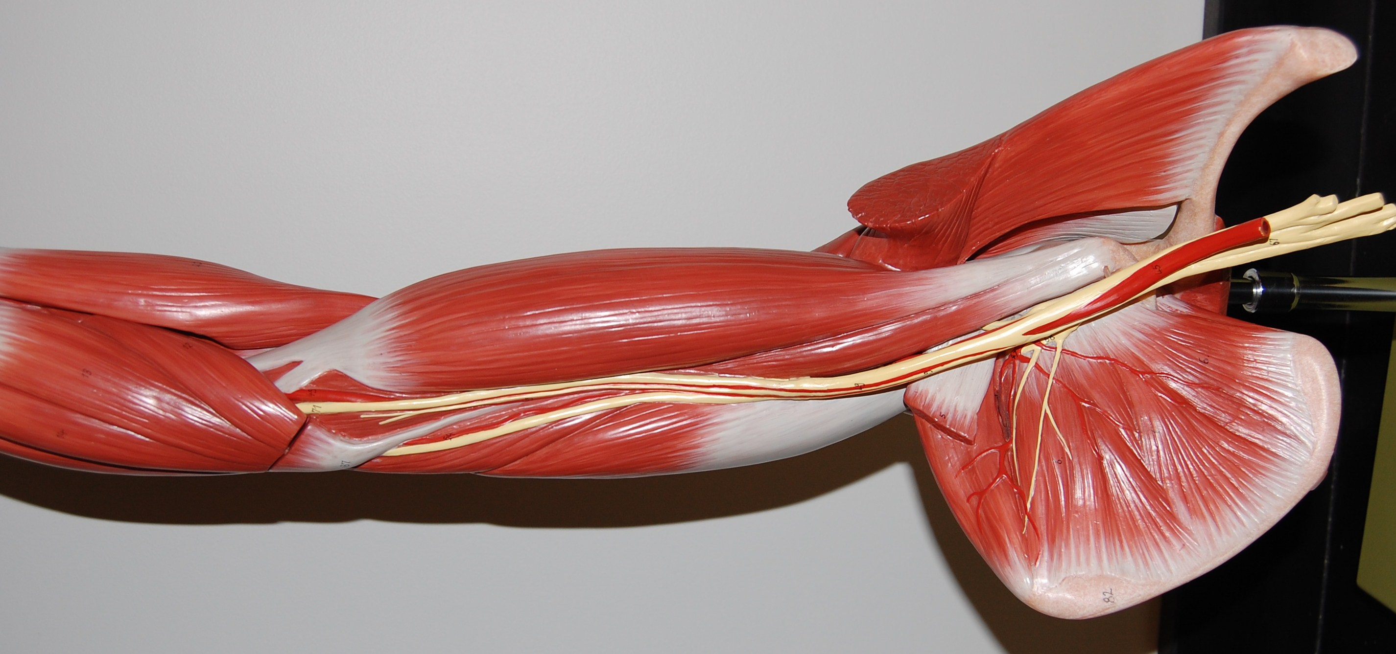 Muscles Of The Upper Arm And Shoulder Anterolateral View