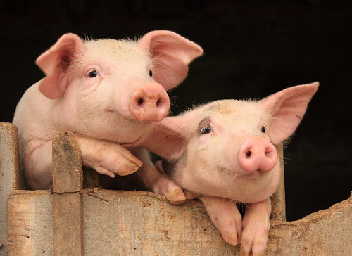 Pigs, source of biogas, Thuong Do hamlet, Thuong Vu commune, Kim Thanh district, Hai Duong province