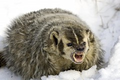 An Angry Badger