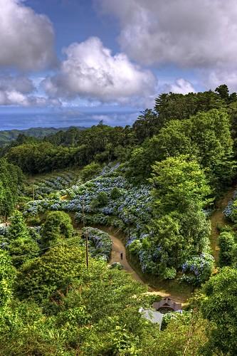 Hydrangea Hills
