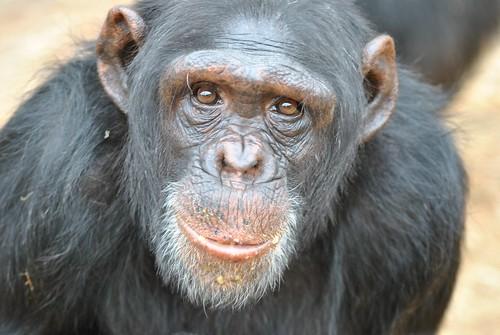 Chimp Eden Sanctuary - Mimi