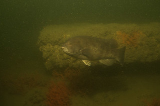 Underwater photo of tautog