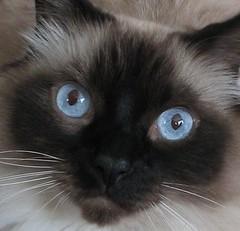 Tantra Blue-Eyes