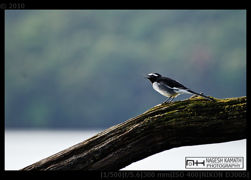 Pied Wagtail | Bhadra Wildlife Sanctuary