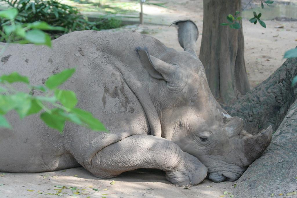 Depressed_rhino