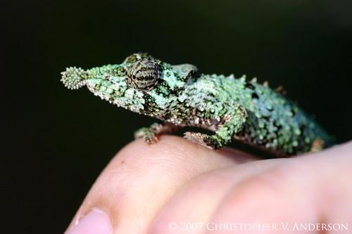 Rhampholeon (Rhampholeon) spinosus (Rosette-nosed Chameleon)