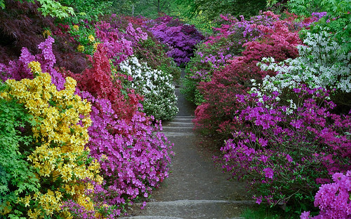Leonardslee Gardens, West Sussex, UK | Vibrant colors from amazing azaleas line a woodland path in Spring (1 of 23)