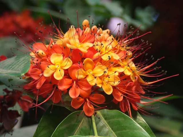 Sita Ashok_Saraca asoca_सीता अशोक_Caesalpiniaceae