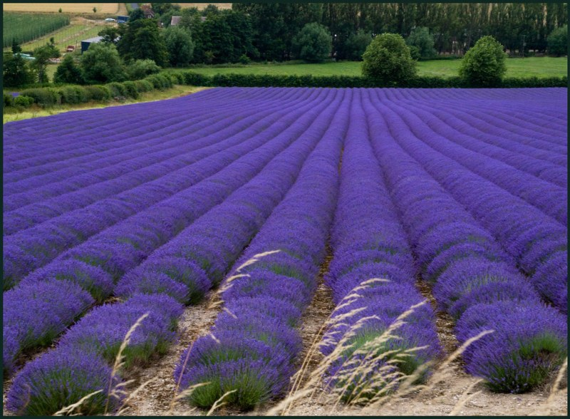 Flowers ~ Lavender Fields at Castle Farm, Shoreham, Kent (Wk 28)