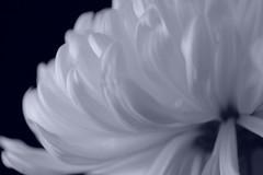 Flower Macro - Cyanotype