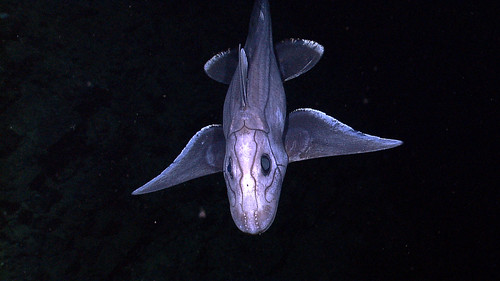 Deep-sea Chimaera by NOAA, Ocean Explorer on Flickr