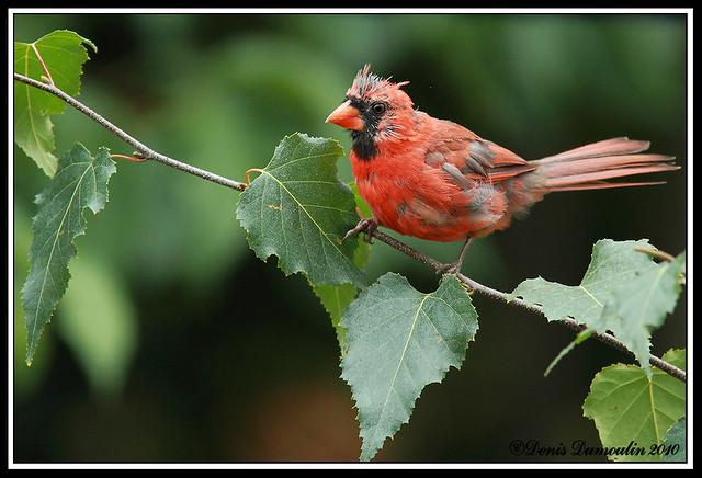 7DMIR26sept, Cardinal juvénile
