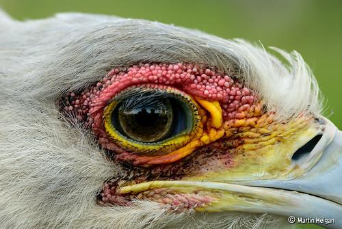 Secretary Bird (Up-Close) by Martin_Heigan