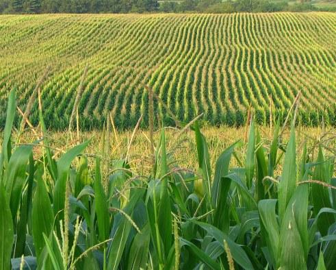 Corn field...or content farm? You decide!