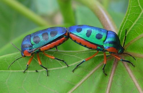 iNaturalist.org · Genus Calidea