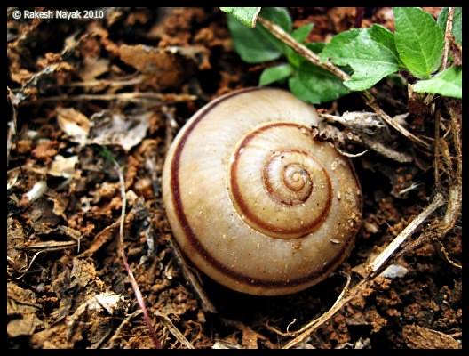 equiangular spiral in nature