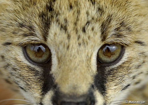 Serval Cub Portrait by Martin_Heigan