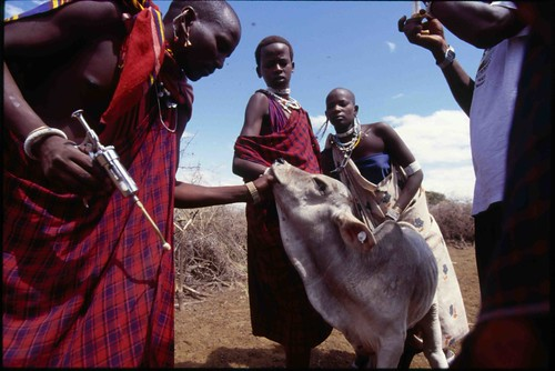 Tanzanian Maasai helping to treat cattle against East Coast fever