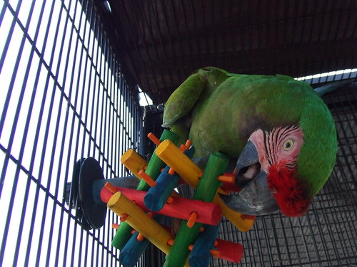 Image result for military macaw in cage