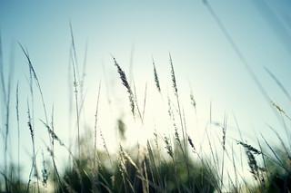 grateful harvest grasses