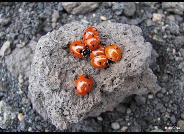 Lava stone and 7 ladybugs