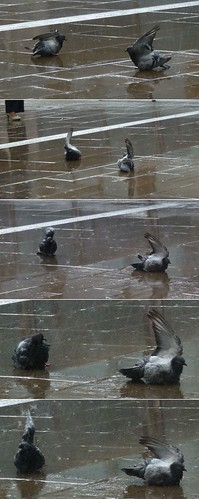 pigeons taking a shower