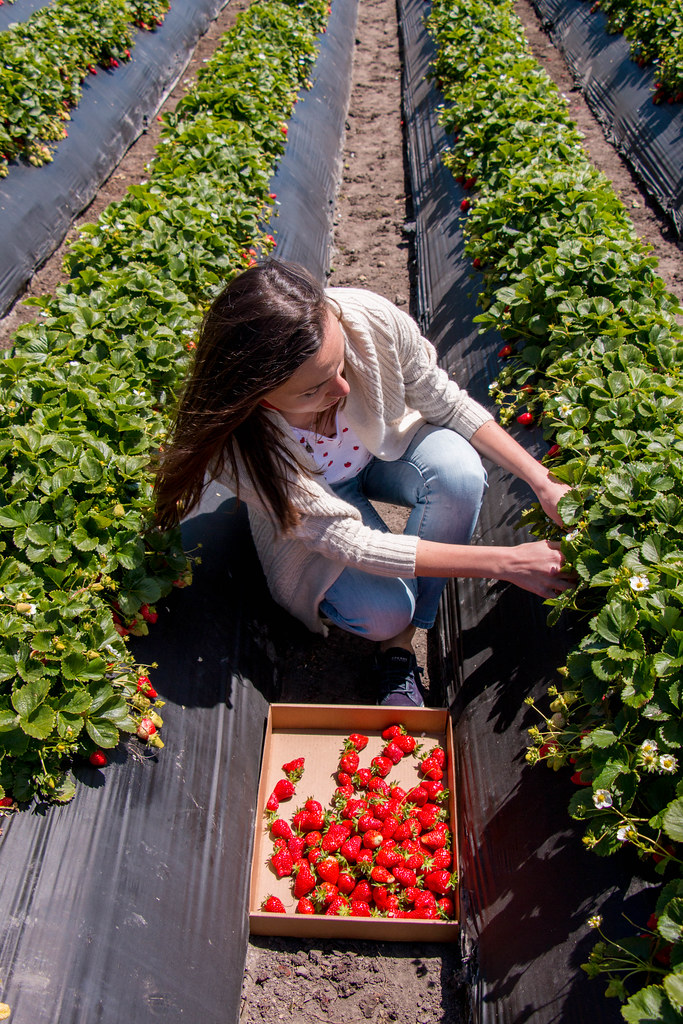 05.13. Swanton Coastal Farm Strawberry Pick up