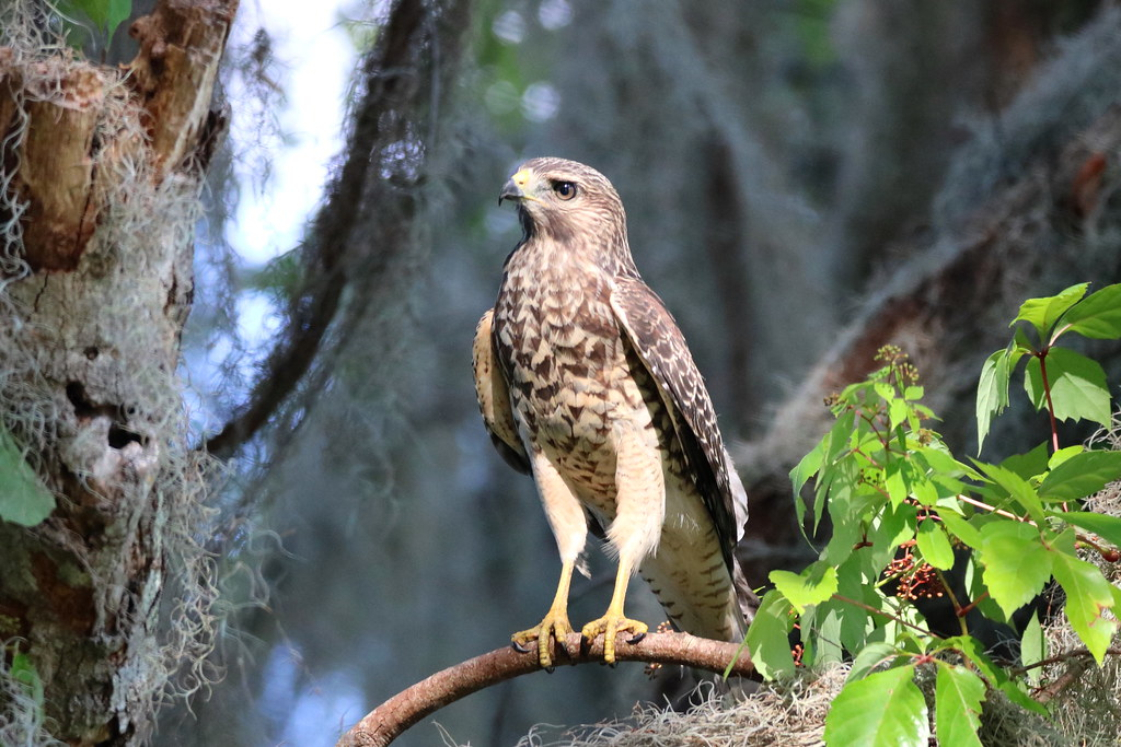 One of the famous RED-SHOULDERED HAWK fledglings from the nest on Alligator Alley not far from the intersection with Heron Hideout. @ Circle B Bar Reserve, Lakeland, Fl.