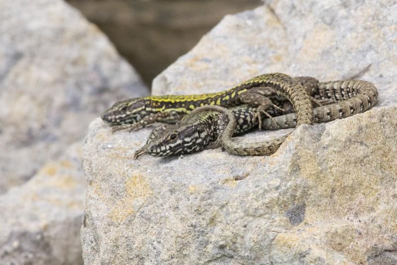 English Wall Lizards