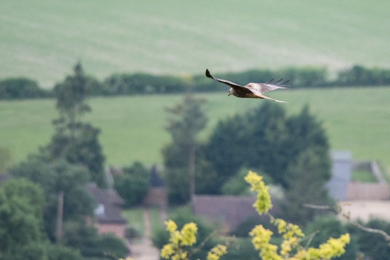 Red Kite from White Mark Hill