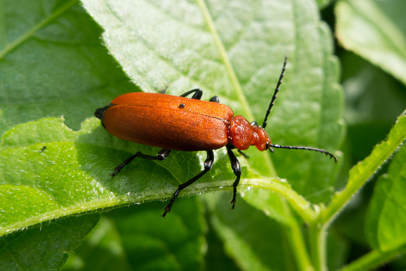 Common Cardinal Beetle