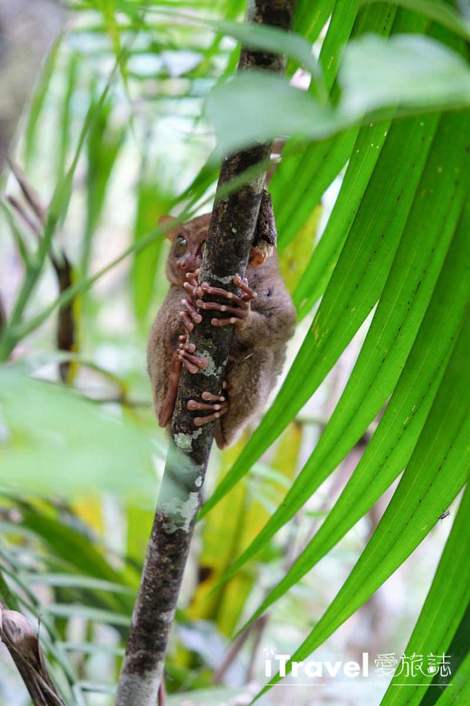 菲律宾薄荷岛眼镜猴保育中心 Tarsier Sanctuary (14)
