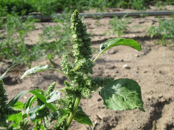 notorious weeds pigweed