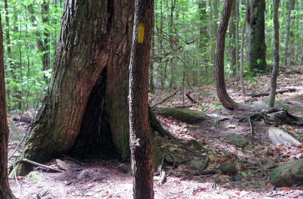 Mt. Morgan Trail Tree