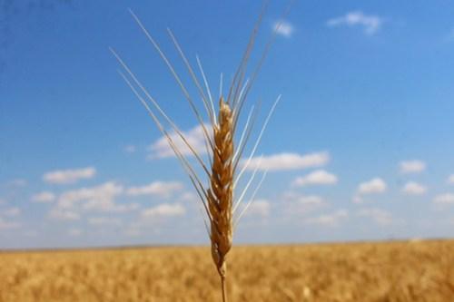 Lone wheat head.