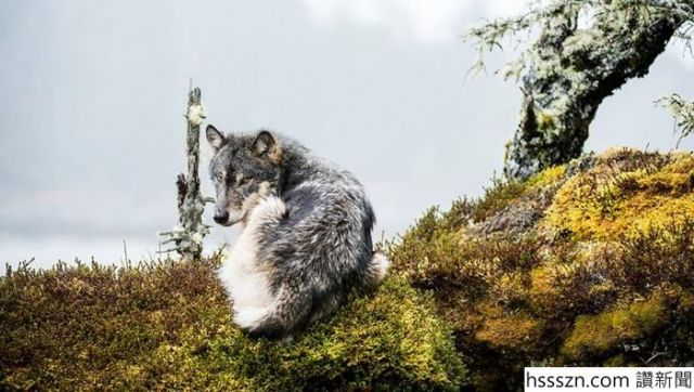 swimming-sea-wolves-pacific-coast-canada-ian-mcallister-9_700_396