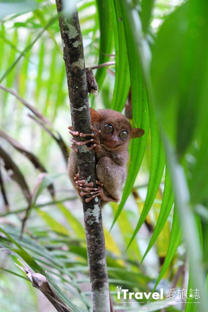 菲律宾薄荷岛眼镜猴保育中心 Tarsier Sanctuary (16)