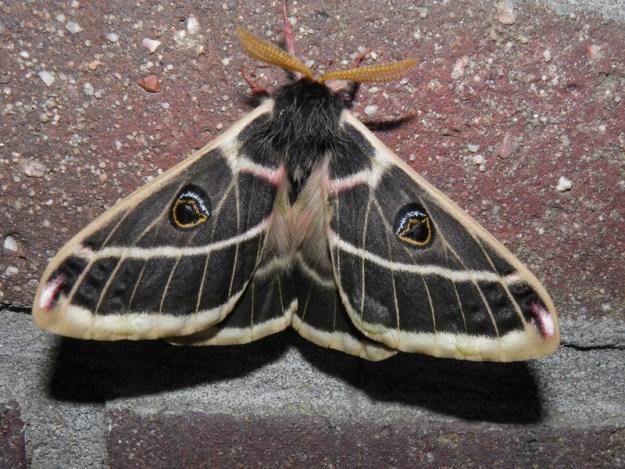 34929176875_abc44d079a_c The Surprising Beauty of Gentle Giant Moths Random