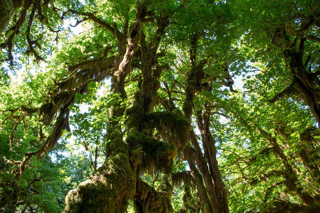 07.07. Hoh Rain Forest