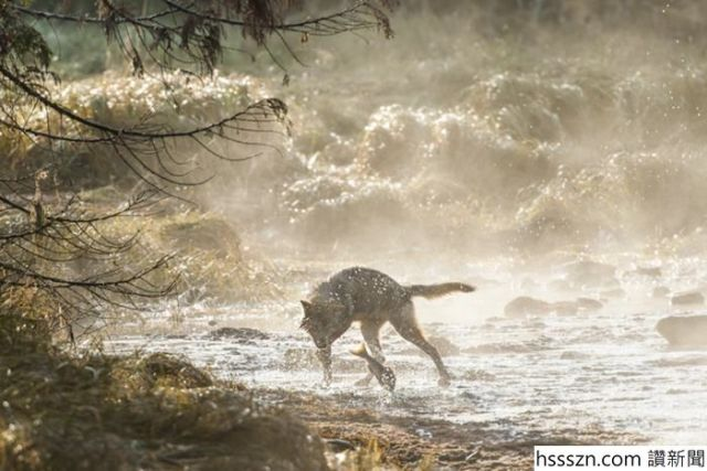 swimming-sea-wolves-pacific-coast-canada-ian-mcallister-10_700_467