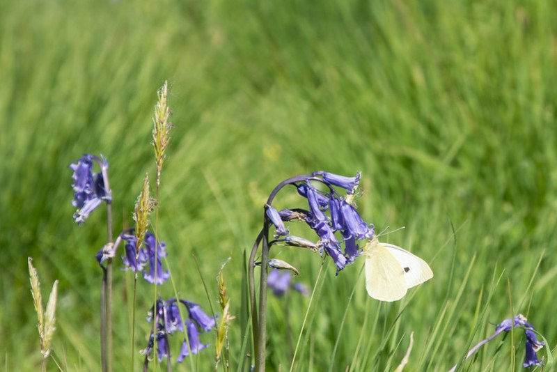 Small White Butterfly nectaring on an English Bluebell