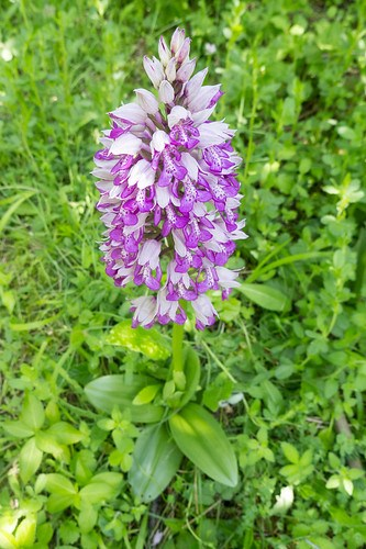 Military Orchid and basal rosette