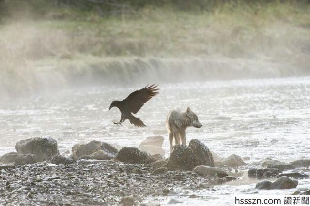 swimming-sea-wolves-pacific-coast-canada-ian-mcallister-1_700_466