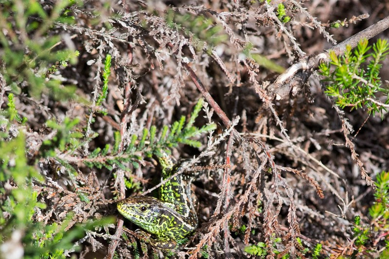 Sand Lizard in heather at Shipstal Point, Arne